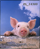 Interlitho-Alberto, ANIMALS, REALISTISCHE TIERE, ANIMALES REALISTICOS, pigs, photos+++++,little pig,heaven,KL16380,#a#, EVERYDAY