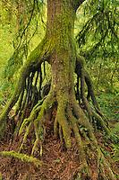 Cedar growing from nursery stump on bank of Nettle Creek in Tryon Creek State Park, Oregon