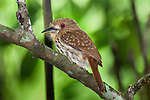 Barred Puffbird (Nystalus radiatus) perched in rainforest canopy. Rio Claro Reserve, Magdalena Valley, Colombia.