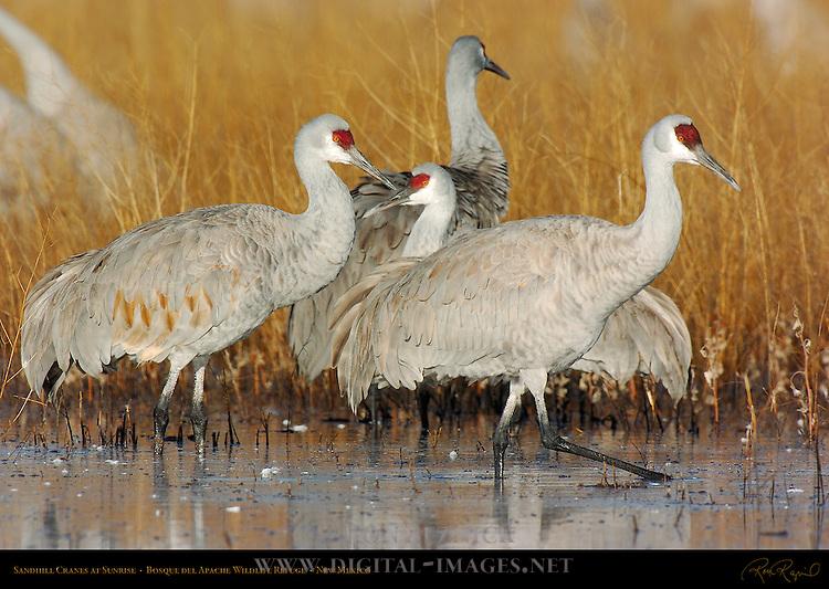Sandhill Cranes at Sunrise, Bosque del Apache Wildlife Refuge, New Mexico