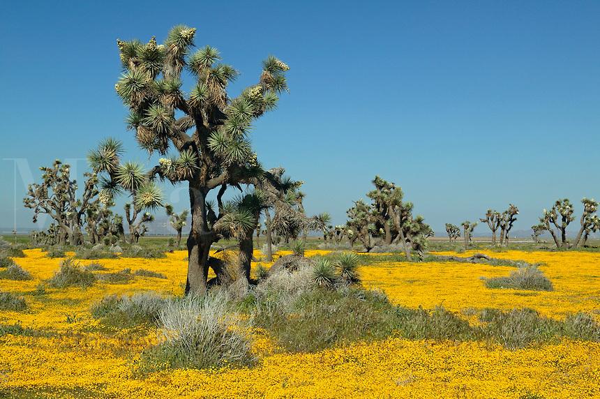 Joshua Trees ( Yucca brevifolia ) and carpets of goldfields (Lasthenia californica) Antelope Valley near Lancaster, California.