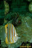 0121-08oo  Copperband Butterflyfish -Chelmon rostratus © David Kuhn/Dwight Kuhn Photography