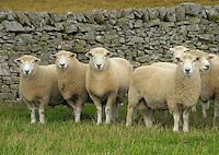 Romney tups, Hawick, Roxburghshire, Scotland.