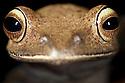 Tree frog {Boophis sp.} close-up of head.  Masoala Peninsula National Park, north east Madagascar.