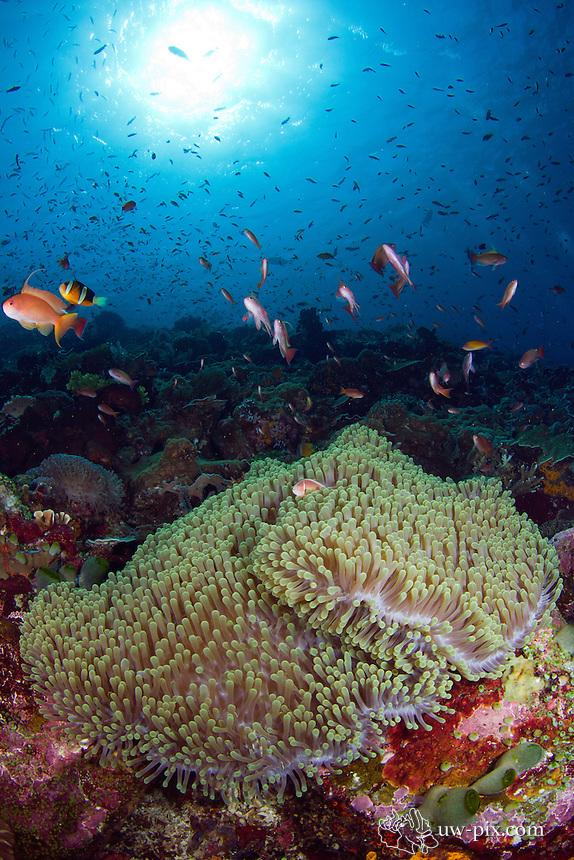 nemo with anemone and anthias komodo national park june 2011