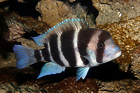 Frontosa Cichlid (Cyphotalapia frontosa) (c)