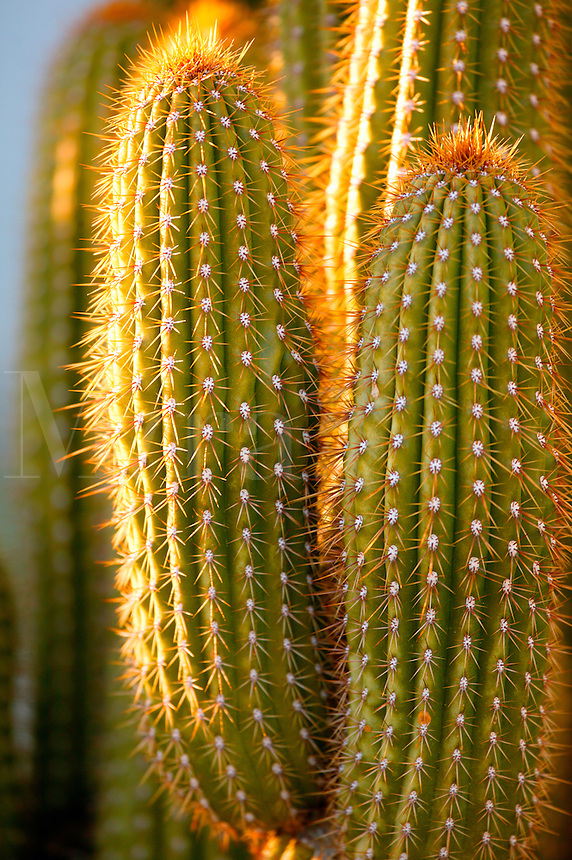 Cactus in the Mojave Desert, California.