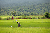 Rice fields near Kep<br /> , Cambodia during rainy season<br /> <br /> PHOTO :  Agence Quebec Presse<br /> <br /> <br /> <br /> <br /> <br /> PHOTO : Agence Quebec Presse