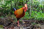Sri Lanka or Ceylon junglefowl (Gallus lafayettii) in forest undergrowth. Sinharaja Forest Reserve, Sri Lanka.