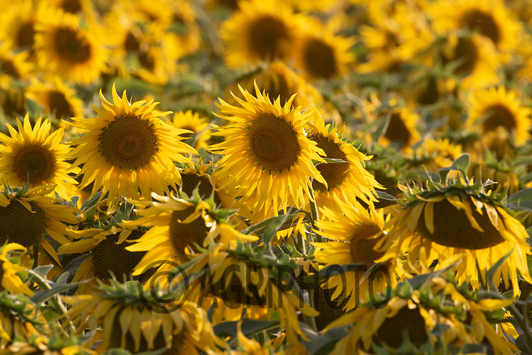 Sunflowers bing grown for bird seed in South Lincolnshire<br /> ©Tim Scrivener Photographer 07850 303986<br />      ....Covering Agriculture In The UK....