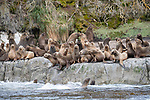 Rookery of South American sea lions (Otaria flavescens). Straits of Magellan, Patagonia, Chile.