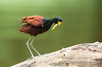 Northern Jacana, Jacana spinosa, stands on a log in the Tortuguero River (Rio Tortuguero) in Tortuguero National Park, Costa Rica