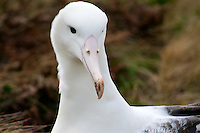 Southern Royal Albatross on Campbell Island