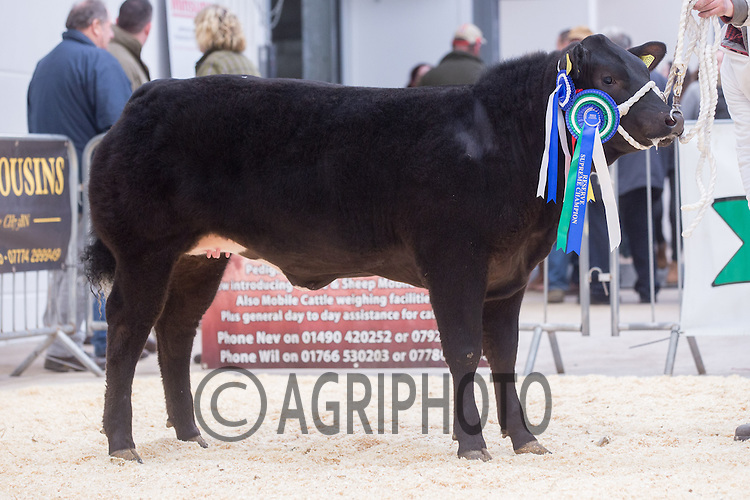 North Wales Show Potential sale at Ruthin Farmers auction Company,Ruthin,North Wales <br /> Lot 9 Reserve Overall Champion owned by J M & A M Lewis sold for £4000.00<br /> Picture Tim Scrivener 07850 303986<br /> ….covering agriculture in the UK….