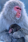 A Japanese macaque or snow monkey mother and her newborn offspring take comfort in a shared embrace on a cold day in Jigokudani National Park, Japan.
