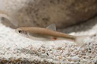 Spotfin Shiner, Cyprinella spiloptera, freshwater, range: North America ( c )