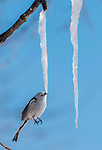 Bird drinks waterdrops from icicles by George Swift