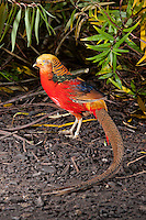 Golden Pheasant or Chinese Pheasant (Chrysolophus pictus), Whitewell,, Lancashire.