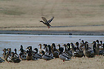A single mallard takes off above a mass of ducks.<br /> <br /> Mallard (Anas platyrhynchos) -- Constitution Gardens, Washington, DC