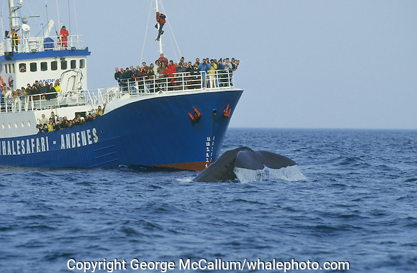 Sperm Whale, Physeter macrocephalus, Diving next to whale watching ship, Bleik canyon, Norwegian sea, Arctic, North Atlantic