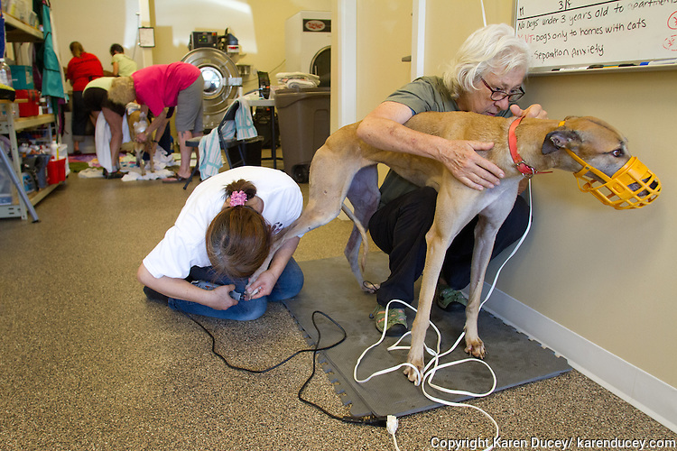 Volunteers trim toe nails after each greyhound gets a bath at Greyhound Pets, Inc. in Woodinville, WA a couple days after their arrival from a cross country journey that originally began in Florida, on June 21, 2015.