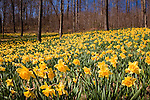 Daffodils carpet the forest floor during the  Daffodil Festival at Hubbard Park in Meriden, CT, USA