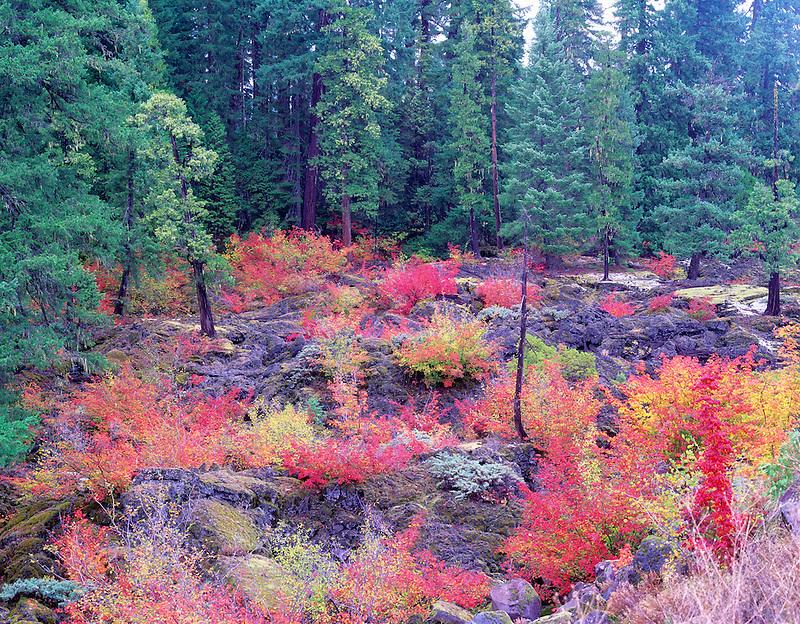 Vine Maple in fall color in AA lava. Near Santiam Pass, Oregon.