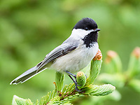 black-capped chickadee, Poecile atricapillus, perched in tree, Nova Scotia, Canada