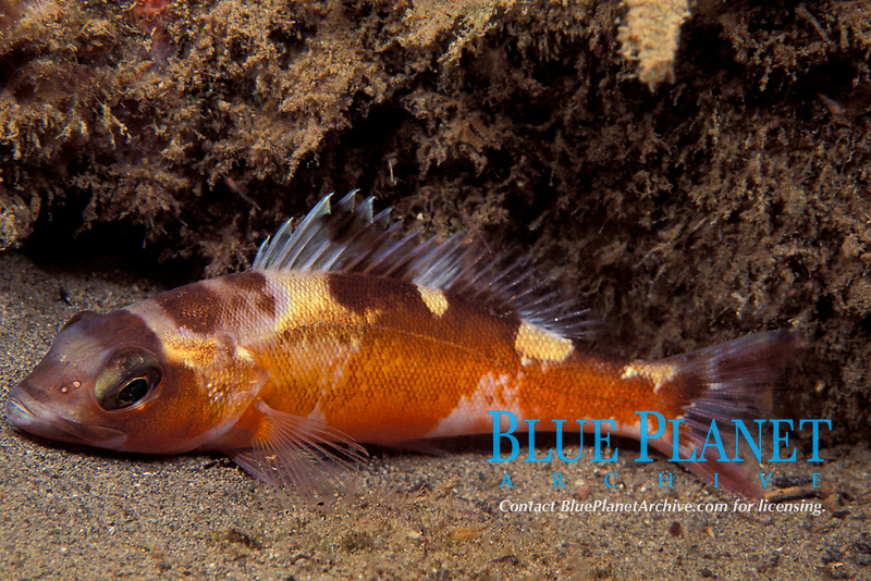 tobaccofish or tobacco fish, Serranus tabacarius, Commonwealth of Dominica (Caribbean Sea), Atlantic