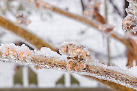 Hamamelis Pallida buds and shrub branch stems in winter snow and ice