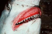 Spot-tail Shark
