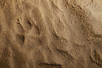 Wolf (Canis lupus) track in mud, Pikertyk, Tien Shan Mountains, eastern Kyrgyzstan