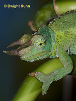 CH35-538z  Male Jackson's Chameleon or Three-horned Chameleon, close-up of face, eyes and three horns, Chamaeleo jacksonii