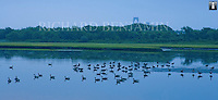 A gathering of wild fowl in Great Creek Marsh on Jamestown. In the background can be seen the towers of the Newport Bridge.