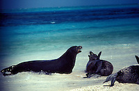 Hawaiian Monk Seals sparring, Tern I.French Frigate Shoals.  Endangered Species