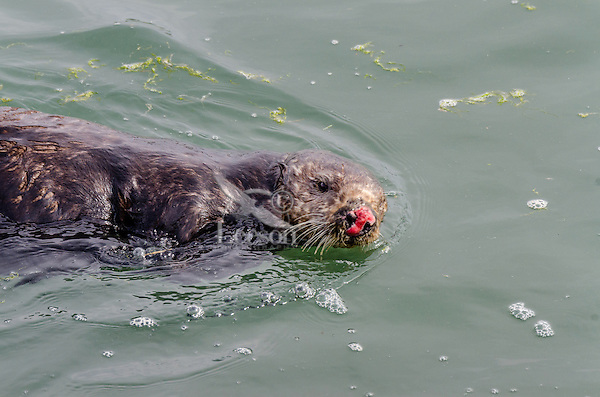 Female Southern Sea Otter (Enhydra lutris nereis)--nose often becomes injured/bloody during mating season as male grabs and holds nose with his teeth.
