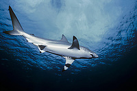spinner shark, Carcharias brevipinna, with pilot fish, Naucrates ductor, Cocos island, Costa Rica, Pacific Ocean