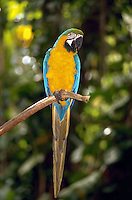 Costa Rican parrot