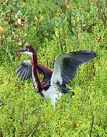 Immatur tri-colored heron in fighting mood