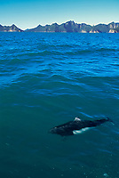 Dall's porpoise, Resurrection Bay, Kenai Fjords National Park, Alaska