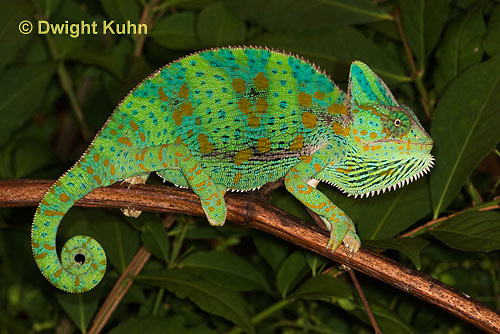 CH39-512z  Female Veiled Chameleon in display colors, Chamaeleo calyptratus