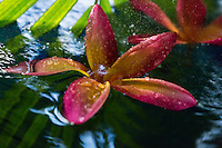 Rain falls on a colorful plumeria flower in a pond on O'ahu.