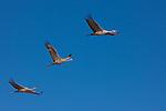Sandhill cranes in flight, Bosque Del Apache National Wildlife Refuge, New Mexico, USA