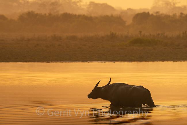 Wild water buffalo (Bubalus arnee). Kaziranga National Park, India.