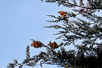 Three monarch butterflies perched on the branches of a Montery cypress in Lighthouse Field State Park, Santa Cruz, California.