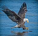 November 6,  2015 / Conowingo Dam, Maryland / Bald Eagles / Photo by Bob Laramie