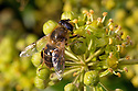 Drone Fly (Eristalis tenax) feeding on Ivy flowers (Hedera helix). Peak District National Park, Derbyshire, UK. November.