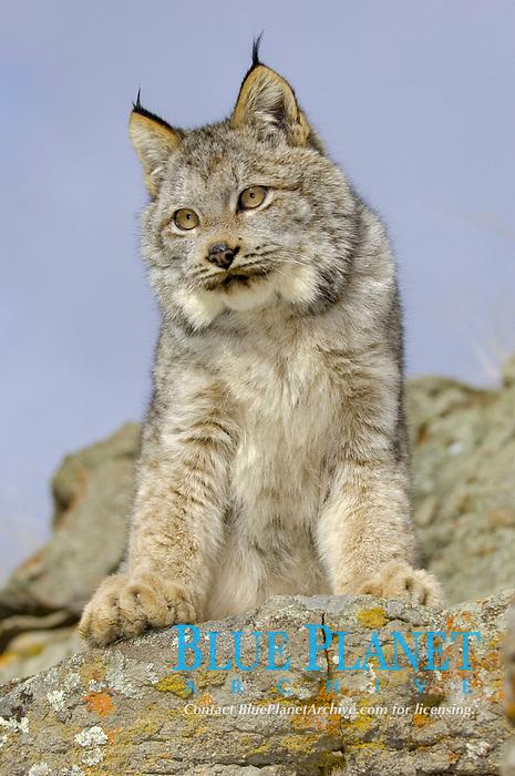 Canadian Lynx (Lynx canadensis), standing on rocks, USA, North America