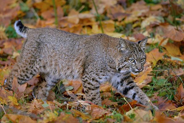 Wild Bobcat (Lynx rufus) walking among fallen bigleaf maple tree leaves.  Olympic National Park, WA.  November.  (Completely wild, non-captive cat.)