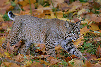 Wild Bobcat (Lynx rufus) walking among fallen bigleaf maple tree leaves.  Olympic National Park, WA.  November.  (Completely wild, non-captive cat.)
